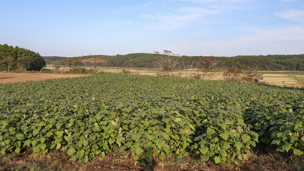 エビサワ農園のヤーコン畑